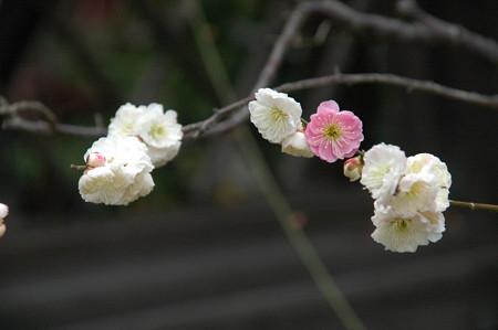 源平咲きの梅