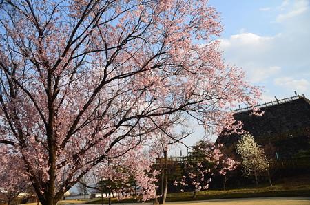 舞鶴城公園の彼岸桜