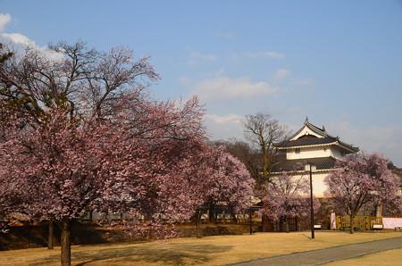 彼岸桜咲く舞鶴城公園