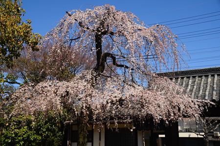 上品蓮台寺の枝垂れ桜