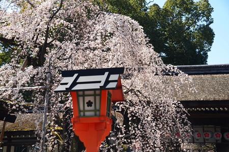魁桜(サキガケザクラ)
