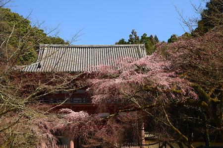 西大門前の枝垂れ桜