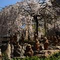 十六羅漢と御幸桜