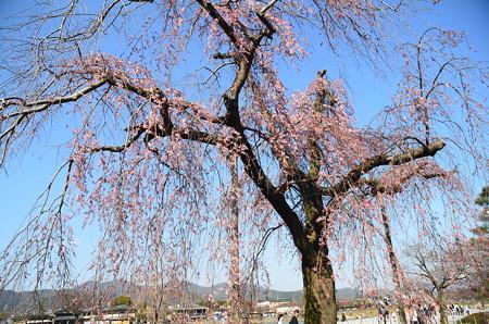 中の島の枝垂れ桜