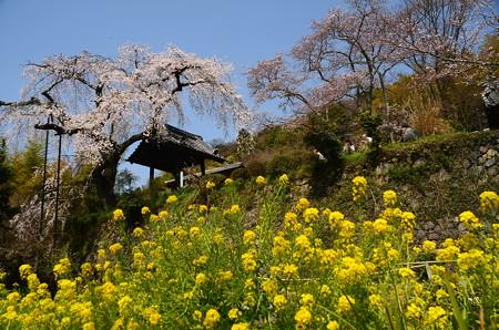 枝垂れ桜と菜の花の地蔵禅院