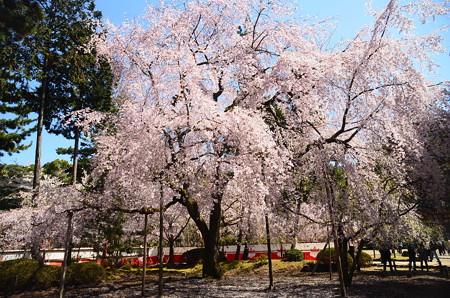 清瀧宮脇の枝垂れ桜