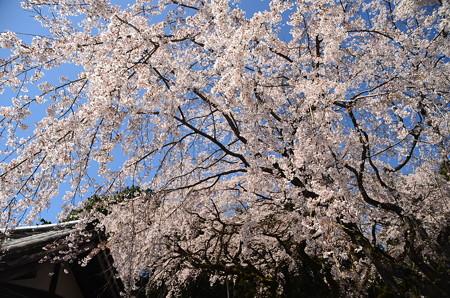 三宝院の枝垂れ桜