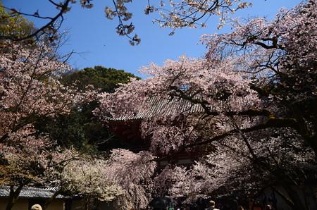 西大門の桜
