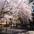 Photos: 清瀧宮脇の枝垂れ桜