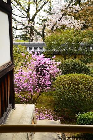 三つ葉躑躅と桜