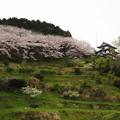小岳城の桜2892
