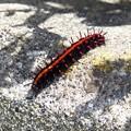 ツマグロヒョウモン幼虫4235