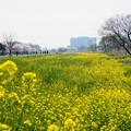 黄色い絨毯
