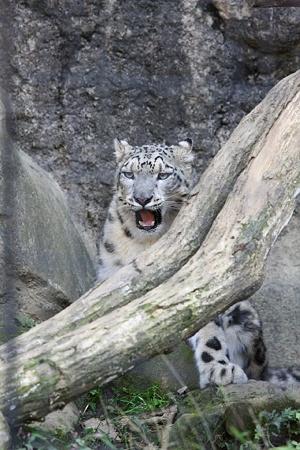 多摩動物公園111029-ユキヒョウのミミ-02