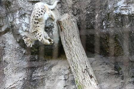 多摩動物公園111029-ユキヒョウの子供達 ムササビジャンプ4-02