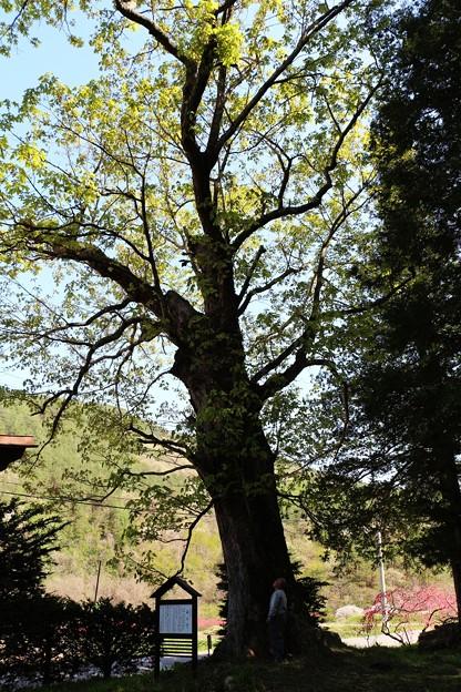 樹齢約300年の栃の木