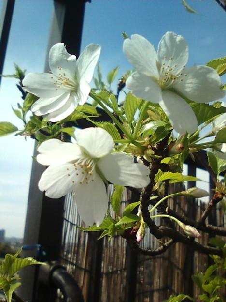 さくらんぼの種から芽が出た、ウチの桜の木、2年振りに桜が咲きまし...