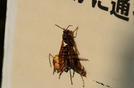 スズメバチ科 セグロアシナガバチ♂