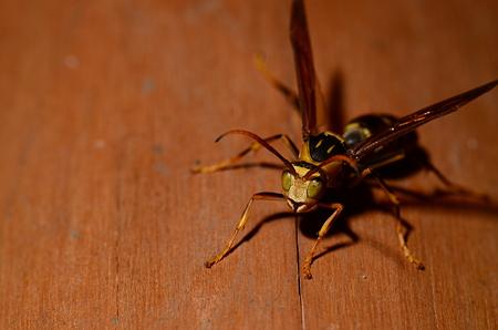 スズメバチ科 キアシナガバチ♂