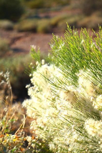 ふわふわの綿の花♪