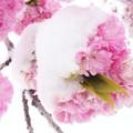 Snow in Springtime♪