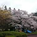 Photos: 桜 榴ヶ岡公園1