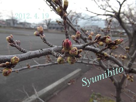 2012.4.19 明日には開花かも