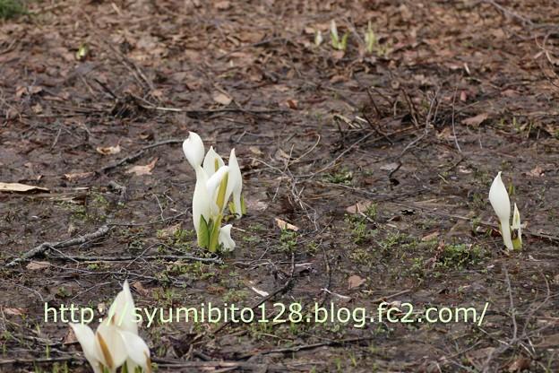 蔵王温泉 鴫の谷地沼にて 水芭蕉 2015年4月19日