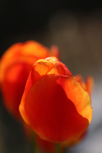 Photos: 我が家の花壇から チューリップ (2)