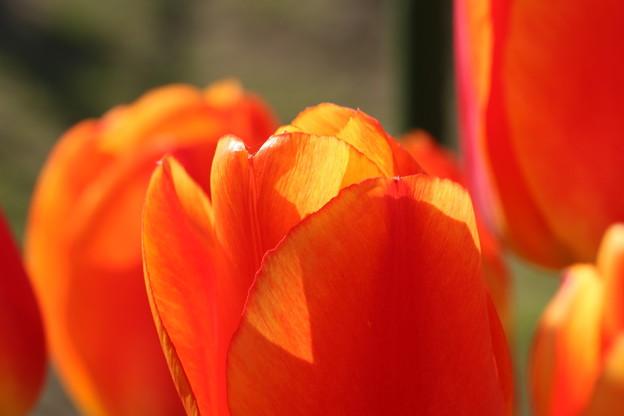 我が家の花壇から チューリップ