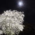 Photos: 桜花月夜
