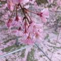 Photos: 枝垂れて2