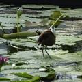 写真: 睡蓮の上で(アフリカレンカク)