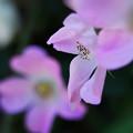 Photos: 響灘のバラ5-4