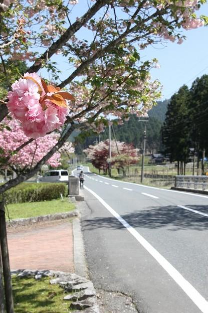 播州トンネル前の桜(3)