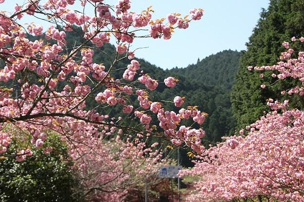 播州トンネル前の桜(7)