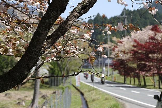 播州トンネル前の桜(8)