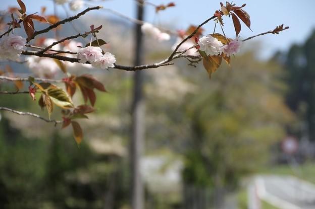 播州トンネル前の桜(9)