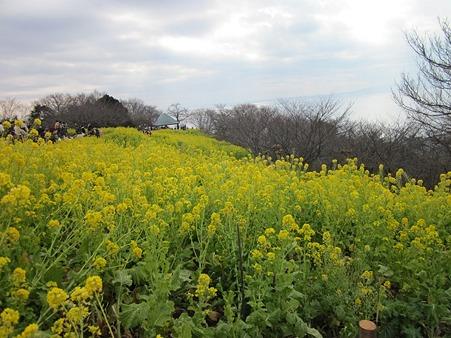 菜の花がいっぱい@吾妻山