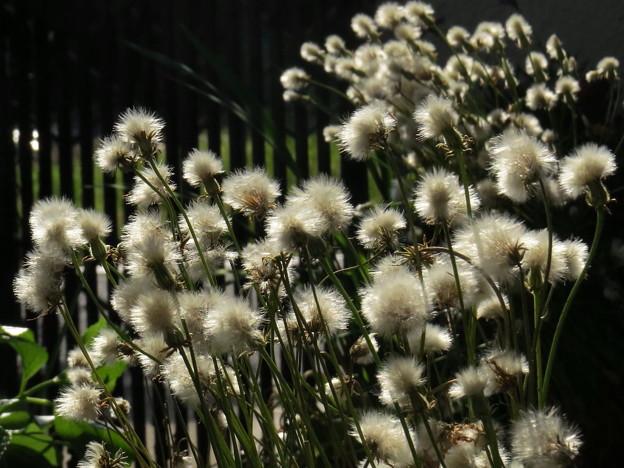 綿帽子の花が咲いた(*^^*)