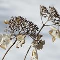 冬の紫陽花4