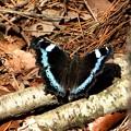 春を告げる蝶