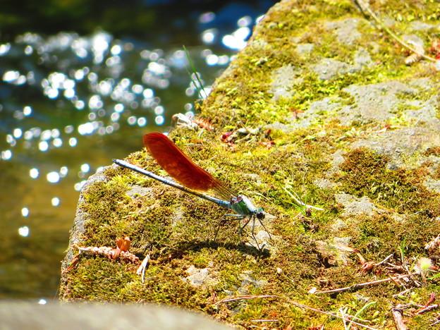 Photos: 赤い羽根を持つカワトンボ
