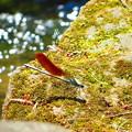 赤い羽根を持つカワトンボ