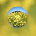 写真: 菜の花宇宙
