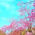 亀山湖のさくら (2)
