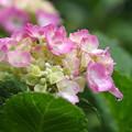 写真: 優しく咲いて