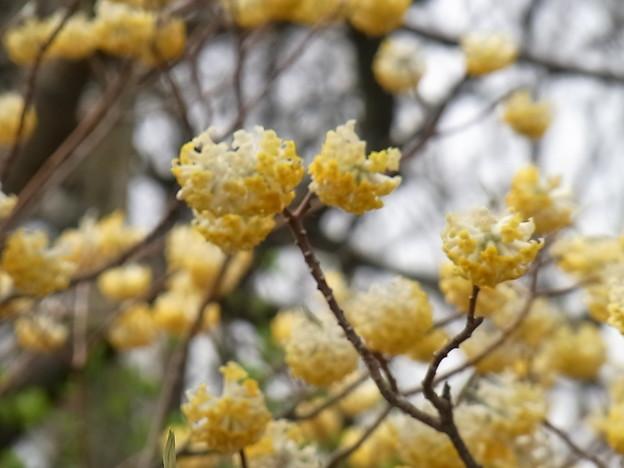 ミツマタの花 2015