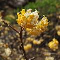 ミツマタの花 2014