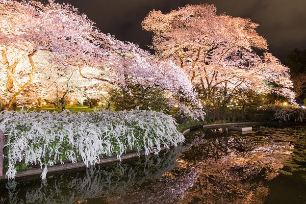 Photos: 夜桜の水辺